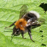 Tree Bumble Bee