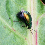 Green Doc Beetle