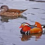 Mandarin Ducks Gallery photo