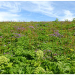 Blumenmeer in Hornstrandir