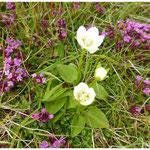 Sumpfherzblatt neben arktischem Thymian