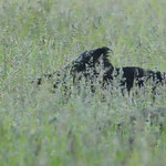 Wildschwein in der Wiese