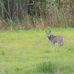 Wolf in der Lausitz