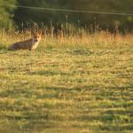 Fuchs auf einer Wiese
