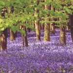 Hasenglöckchen im Wald der blauen Blumen