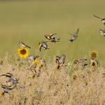 Stieglitzschwarm auf Sonnenblumenkernejagd
