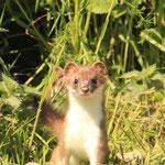 Junger Hermelin