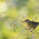 Grasmücke im Himalaya Springlraut