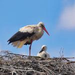 Weißstorch mit Jungtier im Nest