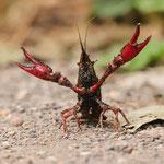 Amerikanischer Sumpfkrebs (Procambarus clarkii), De Witt See (NRW)