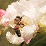 Biene in einer Apfelblüte