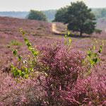 Heideblüte, Veluwezoom (Niederlande)