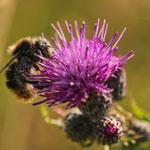 Hummel mit Pollenstaub