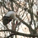 Weißstorch im Baum an seinem Übernachtungsplatz
