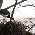 Schwarzstorch beim Nestbau