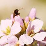 Käfer im Wiesenschaumkraut