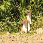 Zwei neugierige Hermeline
