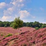 Heide in Veluwezoom