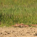 6 junge Hermeline erkunden einen Pferdepaddock