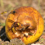 Hornisse und andere Insekten am Fallobst