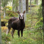 Junger Elchbulle in Schweden, Smaland