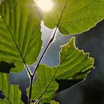 Blattgrün im Gegenlicht
