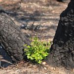 Neues Leben zwischen verbrannten Birken