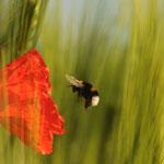 Hummel fliegt eine Mohnblüte an