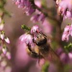 Biene im Heidekraut