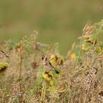 Stieglitze an Sonnenblume