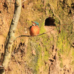 Eisvogel vor seiner Bruthöhle