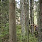 Elchbulle Schweden, Smaland