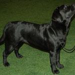 Svētes Iliana Lana Hilberts. Ceturtā labākā izstādes labradoru juniore.