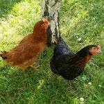 Colette et Berthe, nos poules !