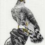 Falke, Bleistift & Aquarell (verkauft/ sold)