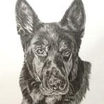 Hund, Bleistift (Auftragsarbeit)