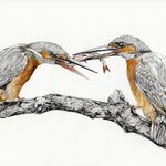 Eisvögel, Bleistift & Aquarell (Auftragsarbeit)