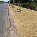 Der Weizen wird auf dem Trottoir getrocknet
