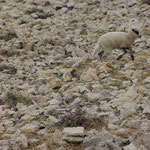 Wo ist das Schaf?