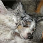 Minou, die jetzt Wilma heißt, kuschelt mit Chihuahuahündin