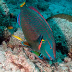 Stoplight Parrotfish - Grüner Papageienfisch - Sparisoma viride