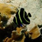Juvenile French Angelfish - Juveniler Franzosen Kaiserfisch - Pomacanthus paru