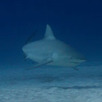 Bull Shark - Bullenhai - Carcharhinus leucas