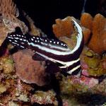 Spotted Drum - Tüpfel-Ritterfisch - Equetus punctatus