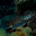 Green Turtle - Grüne Meeresschildkröte - Chelonia mydas