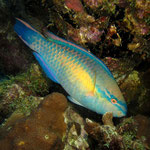 Princess Parrotfish - Gestreifter Papageienfisch - Scarus taeniopterus