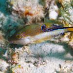 Sharpnose Puffer - Karibischer Spitzkopf-Kugelfisch - Canthigaster rostrata