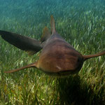 Nurse shark - Ammenhai - Ginglymostoma cirratum (Rhincodontidae)