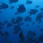 Atlantic Spadefish - Atlantischer Spatenfisch - Chaetodipterus faber