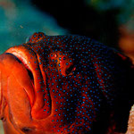 Coral Rockcod - Juwelen Zackenbarsch - Cephalopholis miniata